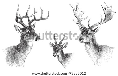 left Common or Virginian Deer (Cervus virginianus), middle Common muntjac (Cervulus Muntjac), right Fallow Deer (Dama vulgaris) / vintage illustration from Meyers Konversations-Lexikon 1897 - stock vector