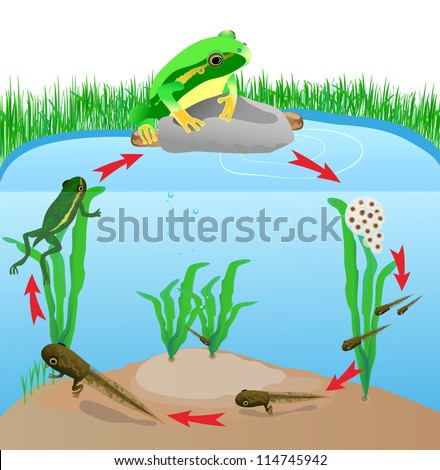 Frog is swimming Stock...