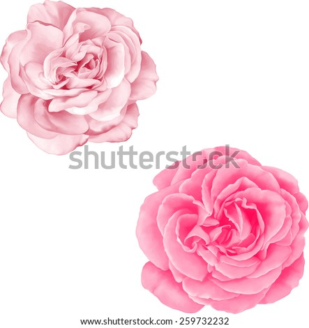 Light Pink Rose Flower isolated on white background - stock vector