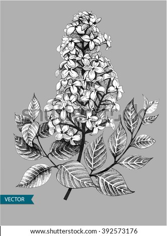 Lilac or syringa vulgaris spring flowers. Vector illustration. EPS10.