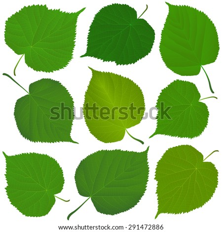 linden green leaves - stock vector