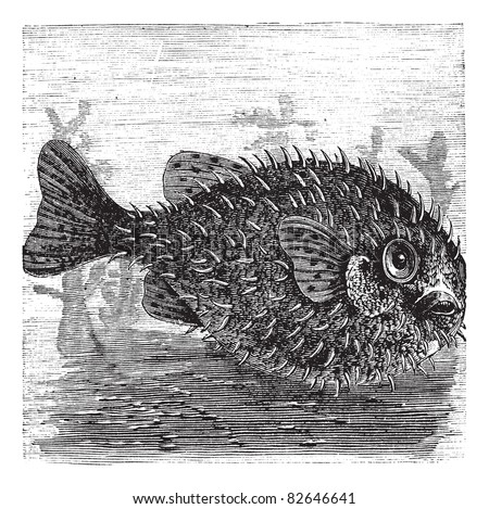 Long-spine Porcupine Fish or Spiny Balloon Fish or Diodon holocanthus, vintage engraving. Old engraved illustration of a Long-spine Porcupine Fish. Trousset encyclopedia (1886 - 1891). - stock vector