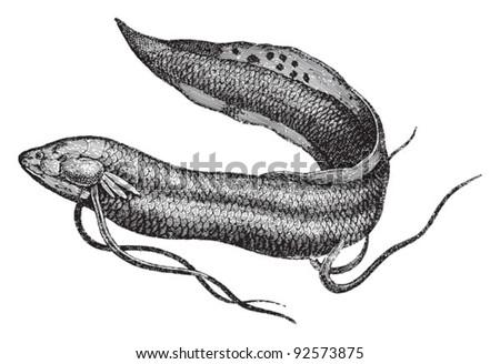 Lungfish (Protopterus anectens) / vintage illustration from Meyers Konversations-Lexikon 1897 - stock vector