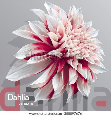 Luxurious red-white garden Dahlia flower (Dahlia variabilis) - photo-real vector drawing on neutral grey background - stock vector