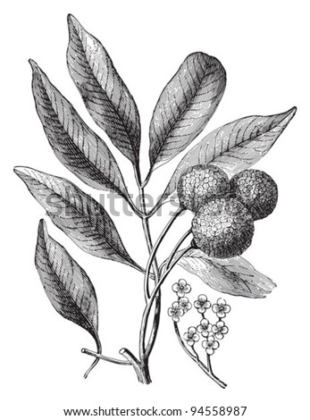 Lychee (Litchi chinensis) / vintage illustration from Meyers Konversations-Lexikon 1897