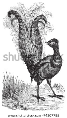 Lyrebird / vintage illustration from Meyers Konversations-Lexikon 1897 - stock vector