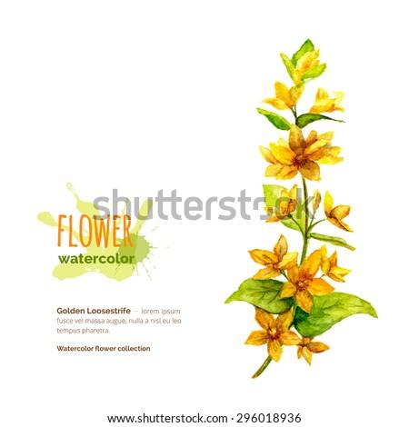 Lysimachia vulgaris, golden loosestrife, botanical painting, hand painted watercolor flower on white, vector illustration - stock vector