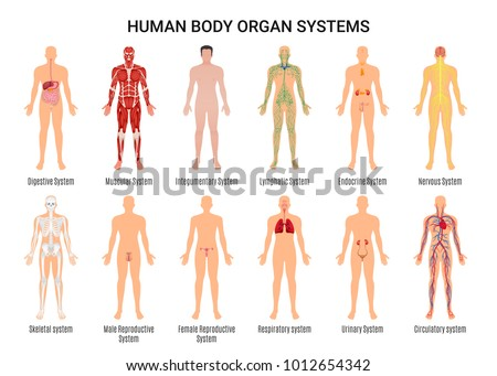 Main 12 human body organ systems stock vector 1012654342 shutterstock main 12 human body organ systems flat educative anatomy physiology front back view flashcards poster vector ccuart