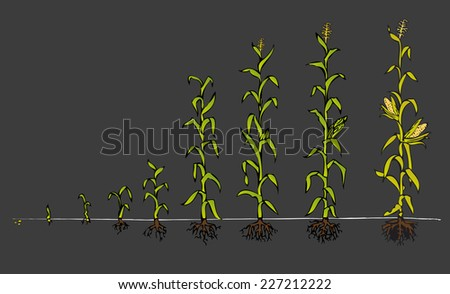 Maize Development Diagram with  stages of growth - stock vector