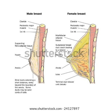 Male Female Breast Anatomy Labeled Stock Vector 24127897 - Shutterstock
