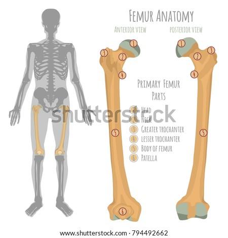Male Hip Bone Anatomy Anterior View Stock Vector 794492662