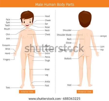 Male Human Anatomy External Organs Body Stock Vector 688363225 ...