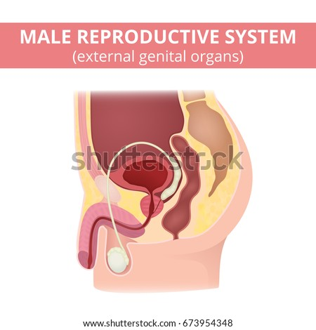 Male Reproductive System Anatomy Male Organs Stock Vector 673954348 ...