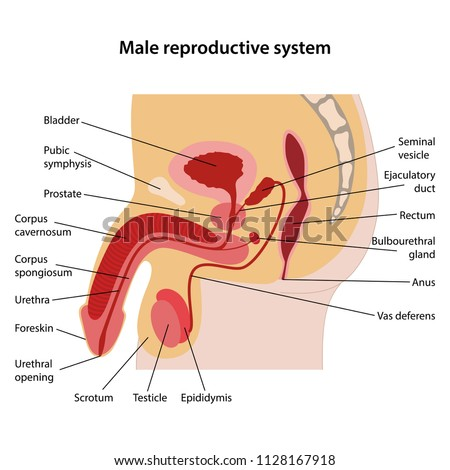 Male reproductive system main parts labeled stock vector 1128167918 male reproductive system with main parts labeled lateral view vector illustration ccuart Choice Image