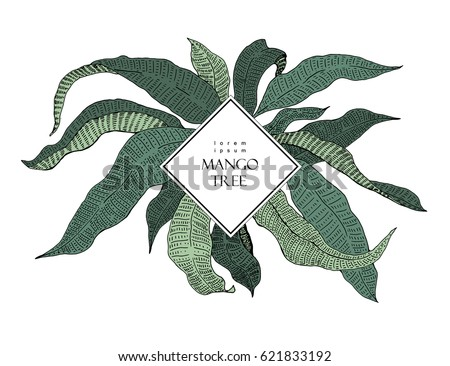 Mango tree vintage illustration. Botanical mango fruit illustration. Leaves. Vector illustration. Logo template