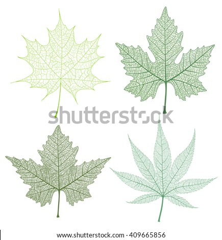 Maple leaves set, isolated and skeleton. Vector detailed illustration. - stock vector