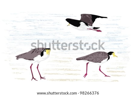 Masked lapwing (Masked plover), native to Australia; illustration - stock vector