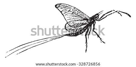 mayfly vintage engraved illustration