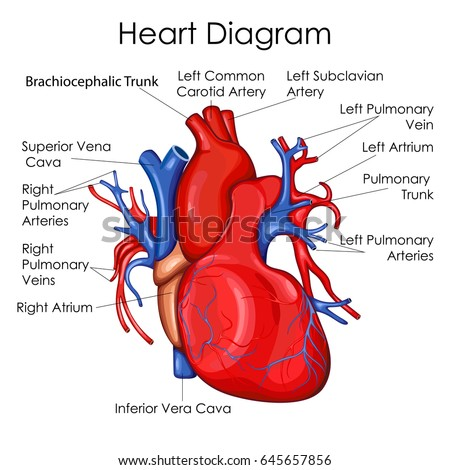 circulation blood through heart for basic stock vector 104022719, Muscles