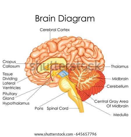 Biology stock images royalty free images vectors shutterstock medical education chart of biology for human brain diagram vector illustration ccuart Image collections