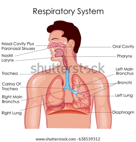 Medical Education Chart Biology Respiratory System Stock Photo