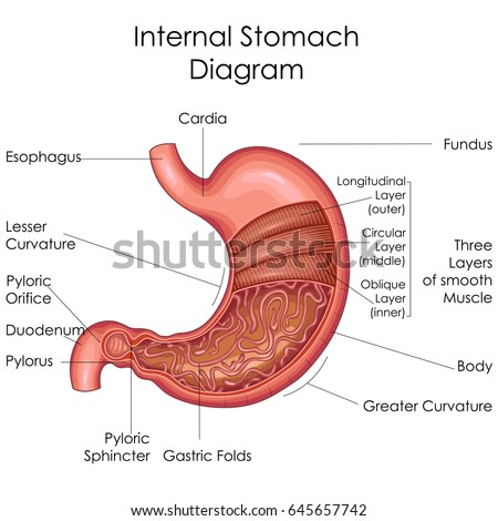 stomach layers stock images, royalty-free images & vectors, Human body