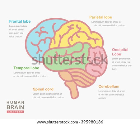 Medical illustration showing the structure of the human brain. Vector human brain side view. Human brain in lineal flat style. Human brain and body anatomy. Infographic, template, layout, elements. - stock vector