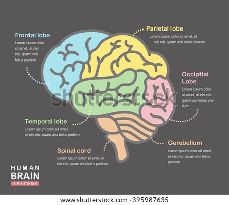 Medical illustration showing structure human brain stock vector medical illustration showing the structure of the human brain vector human brain side view ccuart Choice Image