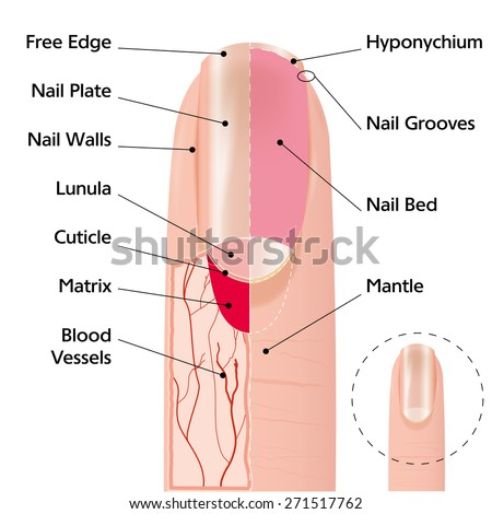 Medical scheme illustration of human finger nail structure - stock vector