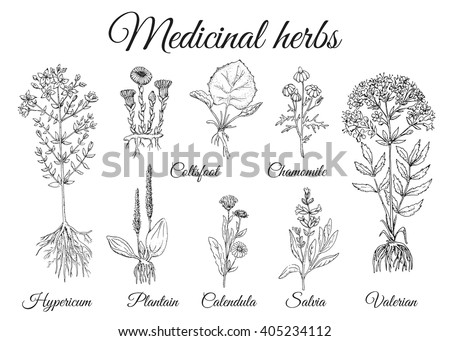 Medicinal herbs. Wild healing flowers. Set vector vintage flowers. Black and white hand drawing illustration. Engravings style. Botanical illustration. Pharmacy herbs.