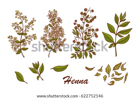 Medicinal plants Vector Set. Henna (Lawsonia inermis) plant: Branches, Flower buds, Flowers, Seeds, Fresh Leaves, Dry leaves. Alternative medicine. Traditional herbal therapy