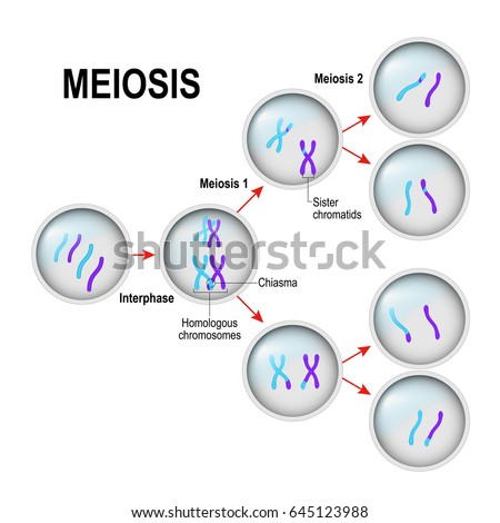 Meiosis Cell Division Interphase Illustration Labeled Stock Vector