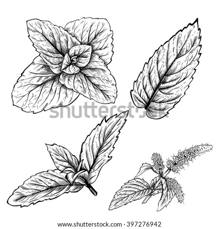 Mint leaf vector. Mint leaf isolated. Peppermint leaf. Isolated mint in engraved style. Aroma herbal leaf. Organic product. Peppermint flavor. Mint isolated. Mint leaves set on white background. Mint. - stock vector