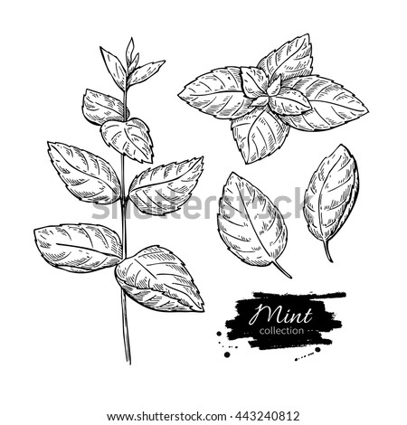 Mint vector drawing set. Isolated mint plant and leaves. Herbal engraved style illustration. Detailed organic product sketch. Cooking spicy ingredient - stock vector