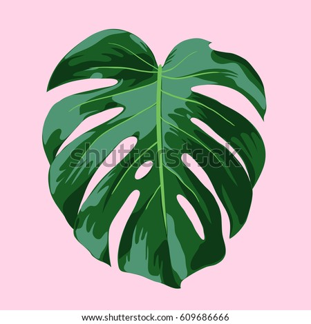 monstera tropical leaf illustration realistic vector illustration of a monstera deliciosa leaf on a pink