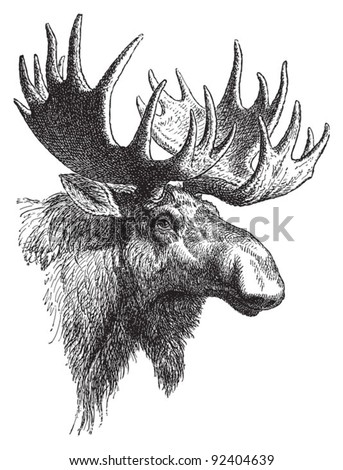 Moose or Eurasian elk (Alces alces) / vintage illustration from Meyers Konversations-Lexikon 1897 - stock vector