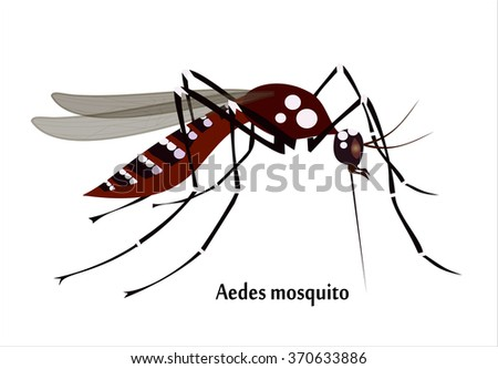 Mosquito species aedes aegyti side - isolated - stock vector