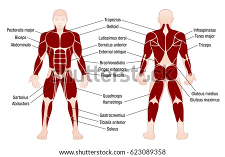 muscle chart accurate description most important stock vector, Muscles