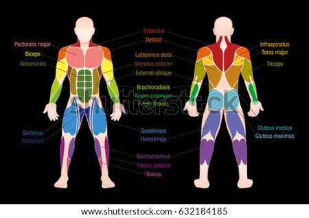 Muscle chart most important muscles human
