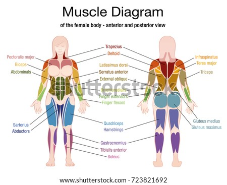 Muscle diagram female body accurate description stock vector muscle diagram of the female body with accurate description of the most important muscles front view preview ccuart Choice Image