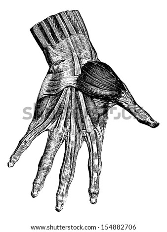 Muscles of the hand (superficial layer), vintage engraved illustration. Usual Medicine Dictionary - Paul Labarthe - 1885. - stock vector