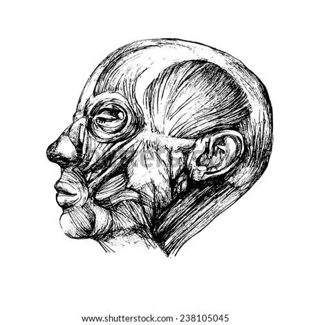 Muscles Human Head Drawing Vector Anatomy Stock Vector 238105045 ...
