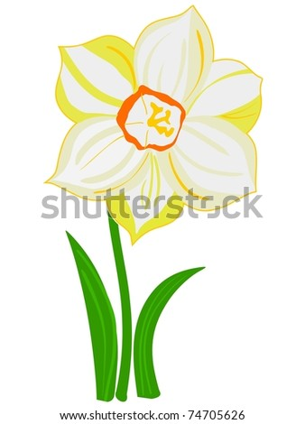 Narcissus flower. Vector - stock vector