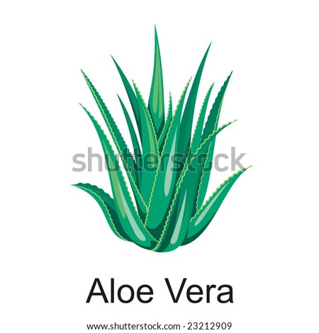 Natural Vector Aloe vera illustration isolated object - stock vector