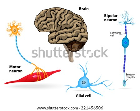 Nervous system. Human anatomy. Brain, motor neuron, glial and Schwann cell, sensory receptor and bipolar neuron. - stock vector