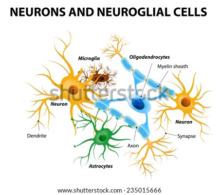 Neurons and neuroglial cells. Glial cells are non-neuronal cells in brain. There are different types of glial cells: oligodendrocyte, microglia, astrocytes and Schwann cells - stock vector