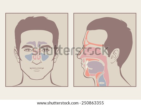 Nose Throat Anatomy Human Mouth Respiratory Stock Vector 250863355 ...