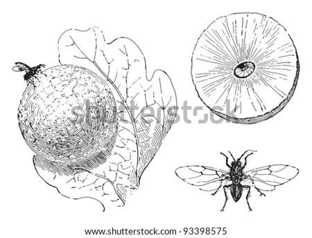 Oak apple gall wasp (Cynips scutellaris) / vintage illustration from Meyers Konversations-Lexikon 1897 - stock vector