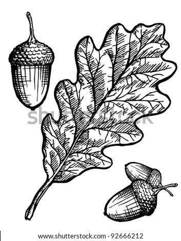 oak leaf and acorn - stock vector