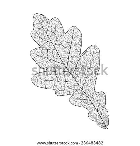 oak leaf skeleton on white - stock vector